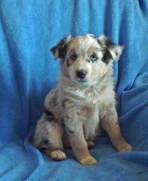 Miniature Australian Shepherd puppy for sale in DES MOINES, IA. ADN-25796 on PuppyFinder.com Gender: Male. Age: 9 Weeks Old