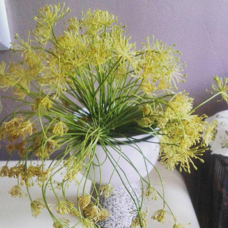 Znowu robię ogórki trochę za dużo kopru .Mam więc pachnący bukiecik. #bukiecik #koper #ogórki #cucumbers #dill #bouquet