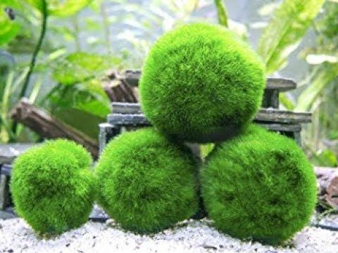 Amazing landscapes places with charming Marimo Moss Ball 2017