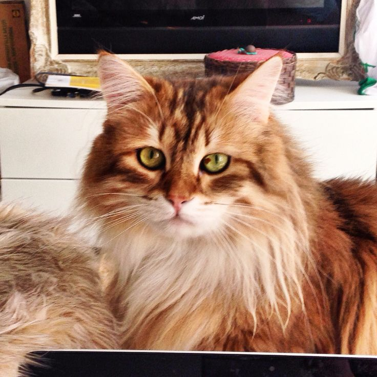 Quintus The Siberian Cat lo_the_siberian on instagram! He is my one true love!! The best boyfriend I ever had!!