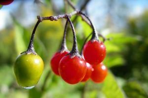 Solanum dulcamara, Bittersüßer Nachtschatten