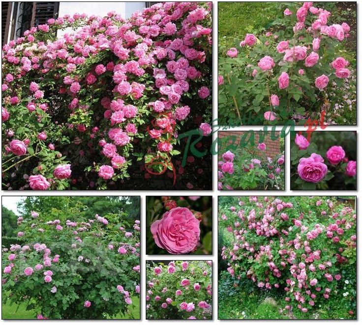 Louise Odier historyczne róże