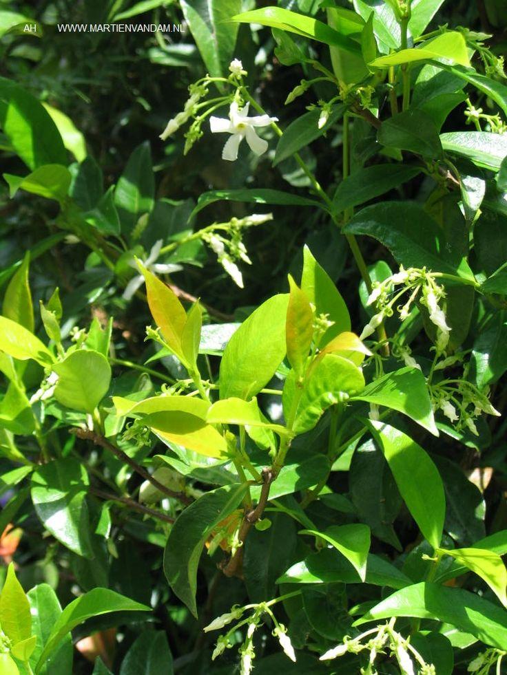 Trachelospermum jasminoides – sterjasmijn, heerlijk geurende klimplant, zon of halfschaduw is het best. Laten zich gemakkelijk leiden. Bloeien met witte kleine stervormige bloemen, juni – augustus/ sept.