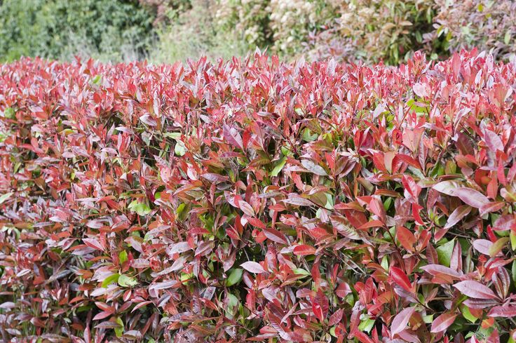 Comment procéder au bouturage à l'étouffée du photonia, arbuste idéal en haie ? Conseils pour le bouturer.