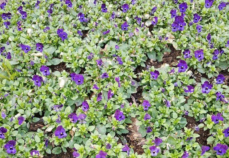 Altijd leuk om te zien Wij vinden ook weleens  verdwaalde viooltjes in de tuin.