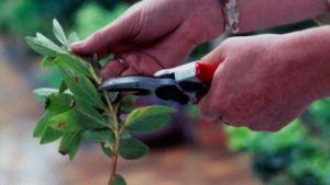 cortar plantas jardin