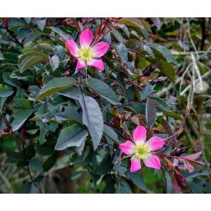 Růže sivá ( Rosa glauca)