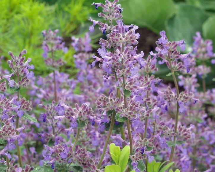 Katzenminze Li Bienenfreundliche Katzenminze In 2020 Medicinal Plants Plant Food Diy Garden Crafts Diy