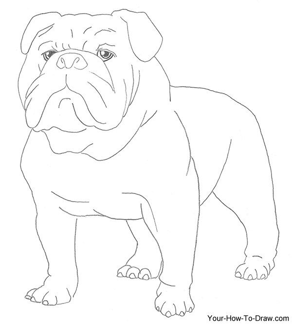 This lesson is on how to draw a bulldog. It is the first in a series of dog drawing tutorials. This tutorial will show you how to draw the gruff yet playful bulldog. Bulldogs are known for their di…