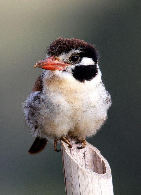 Buco chacurú, chacurú listado, chacurú cara negra, chacurú de cara blanca o joão bobo - João-bobo, White-eared Puffbird (Nystalus chacuru) |