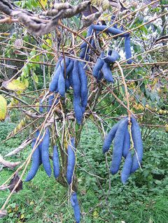 Blue Sausage Fruit (Decaisnea fargesli) is native to E. Asia & W. China. Yes, it really is blue. Grows in Zone 5.