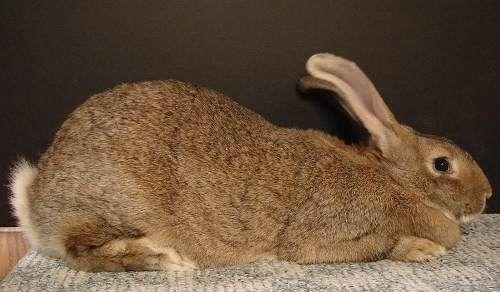 conejo gigante de flandes gazapos de 30 dias