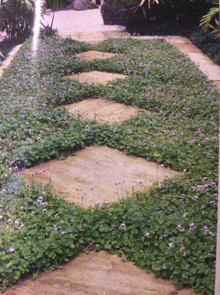 Beautiful native violet (viola hederacea) ground cover