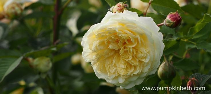 Elegantly perfumed roses to plant this winter - Pumpkin Beth