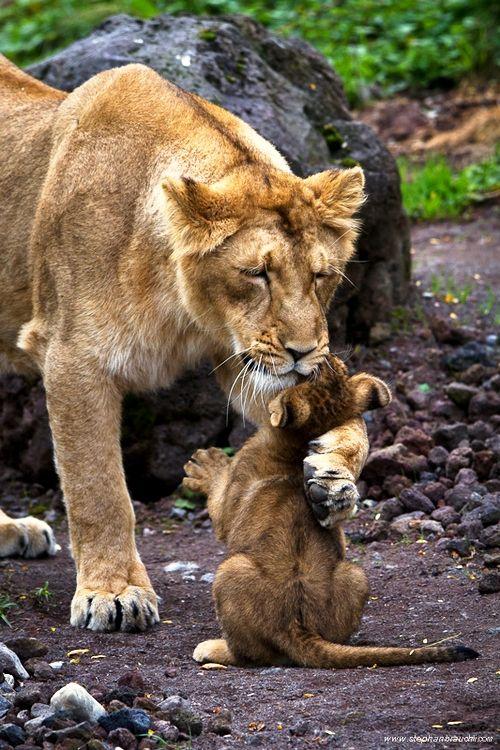 Hugs - lion and cub