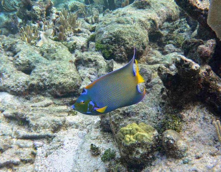 19 best images about reef fish on pinterest indigo for Grand cayman fishing