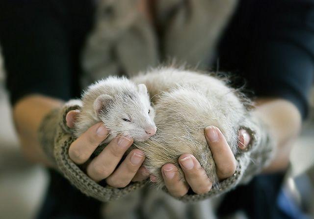 Ferrets are kind of like tubular cats.  :)  I love, love ferrets.