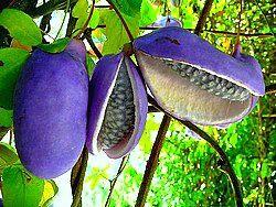 Akebia trifoliata, Chocolate Vine, 10 seeds, fragrant blooms, sweet purple fruit, cold hardy, Japanese heirloom