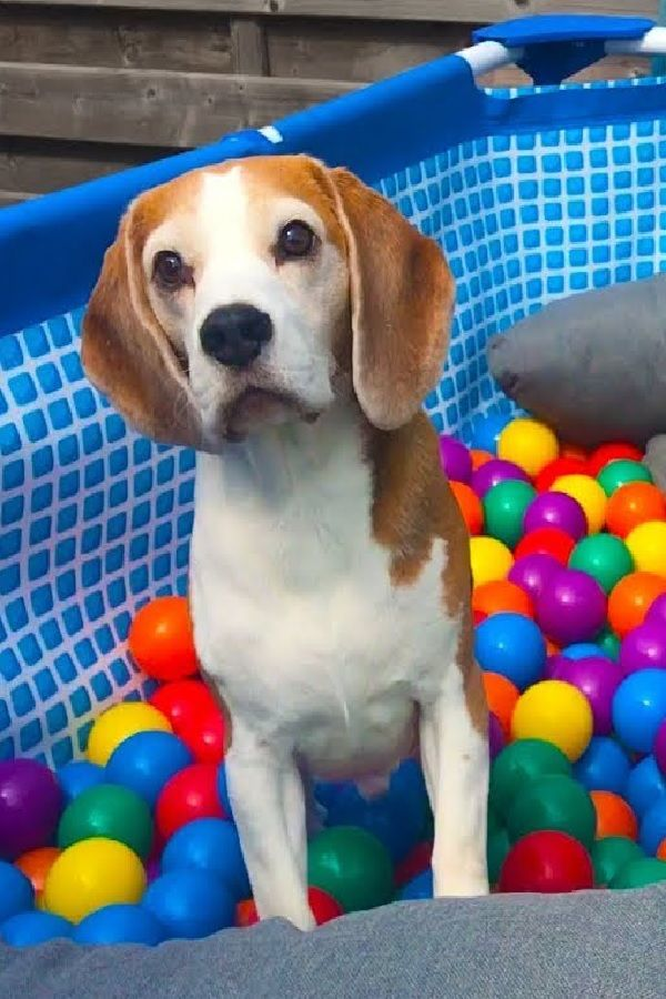 Pool To Ball Pit After Summer Funny Dogs Louie And Marie With