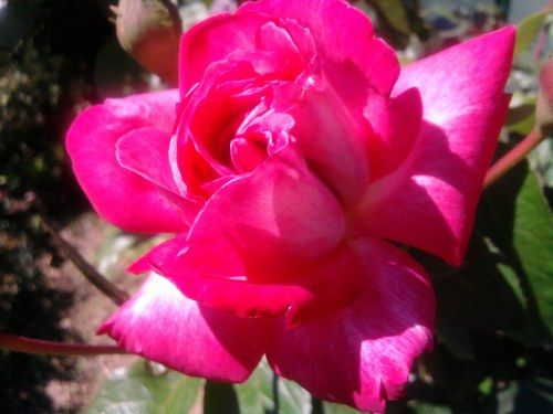 Que de belles fleurs - Encore une belle rose.