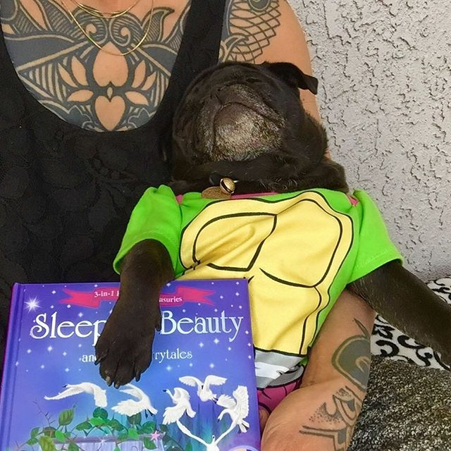 """Any puggie else get fairy tale stories read to them today for """"National Tell a Fairy Tale Day""""? Moms read so many me ended up falling asleep  during the middle of it! Me know Mondays can be tough so me hope everyone had a wonderful Monday!  #organicpetboutique #nationaltellafairytaleday #nursenebbie #nebulathepug #nebbie #nebbiethepug #nebulathepotbellypug #potbellypug#visuallyimpairedpug #blindinoneeye #thegoodthebadandtheuglyface #adoptdontshop #spcaLA #rescuepug #rescuepugsrock…"""