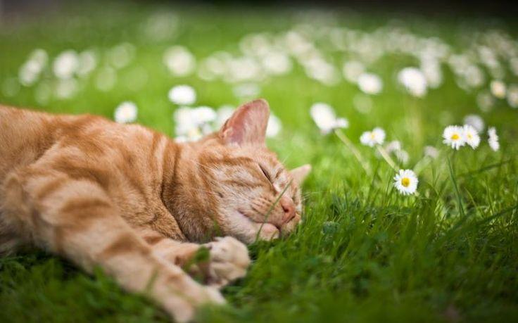 Síntomas del golpe de calor en gatos - http://www.notigatos.es/sintomas-del-golpe-calor-gatos/
