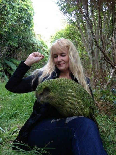 Sirocco the kakapo in the daylight. A rare opportunity. They are a nocturnal species, but he came out to see us.  Per Wikipedia, also called night parrot or owl parrot, is a species of large, flightless nocturnal parrot endemic to New Zealand.[3] It has finely blotched yellow-green plumage, a distinct facial disc of sensory, vibrissa-like feathers, a large grey beak, short legs, large feet, and wings and a tail of relatively short length.