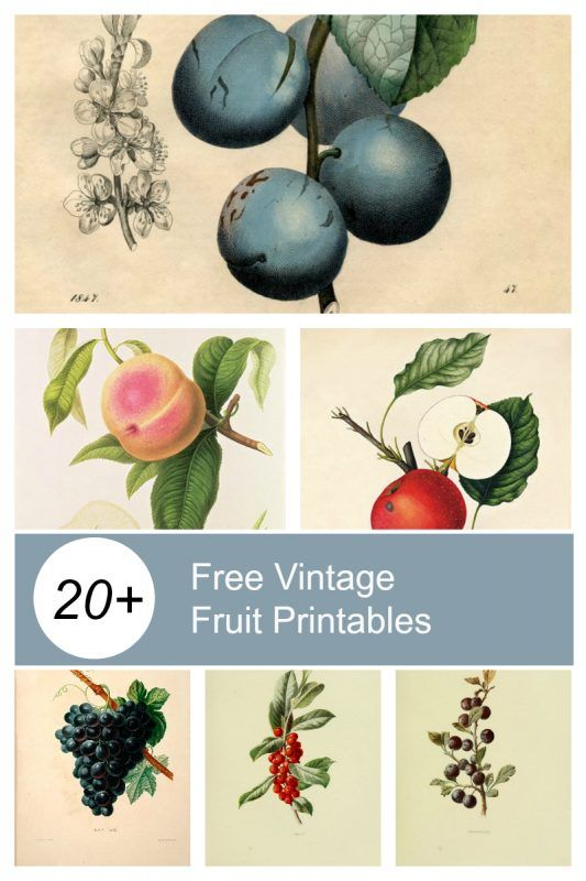 20+ FREE Vintage Fruit Printables that are the perfect decoration for your vintage style kitchen.