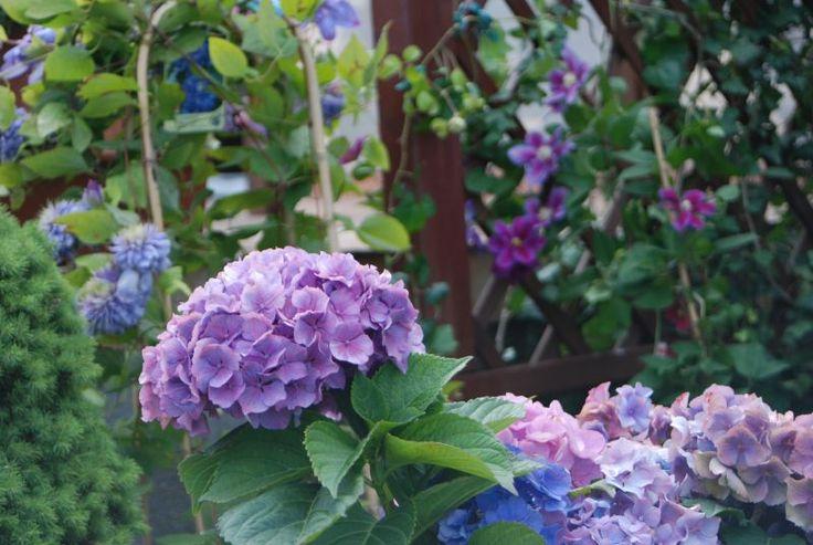 Rośliny i ogród, Hortensje, clematisy, tojeść, żeniszek, gożdzik brodaty, szałwia - moje ulubione