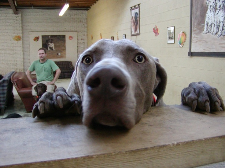 weimaraner... This is what my table is like with MyaBella and yes in the background is a chocolate lab.. That is like my Dakota