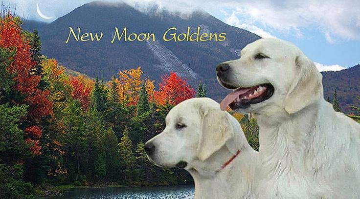 New Moon Golden Retrievers English Cream puppies Champion