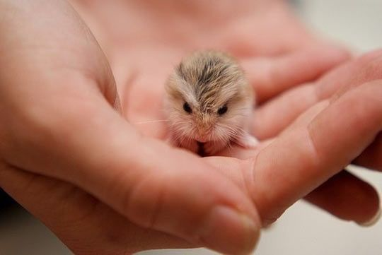 A Tiny Baby Hamster, I MUST have one of these.