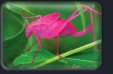 Katydid, çekirge benzeri bir canlıdır. Alttaki resimde görülen Crayola Katydid'i iri gözleri ve rengarenk vücudu ile düşmanları açısından korkutucu bir dış görünüşe sahiptir.