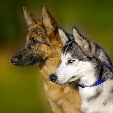 Картинки собаки хаски и овчарки