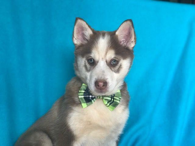 Pomeranian Sharberian Husky Mix Puppy For Sale In East Earl Pa