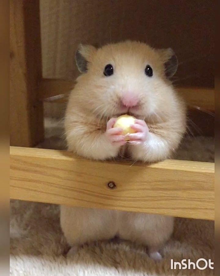 Ham Susse Tiere Hamster Haustiere Kaufen