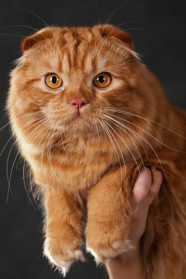 92 best Scottish Fold Cats images on Pinterest | Kitty ...