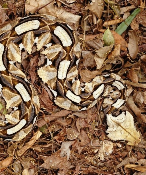 Beautiful Gaboon Viper using camouflage.