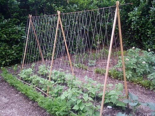 Tomate Bricolage: élagage et treillis