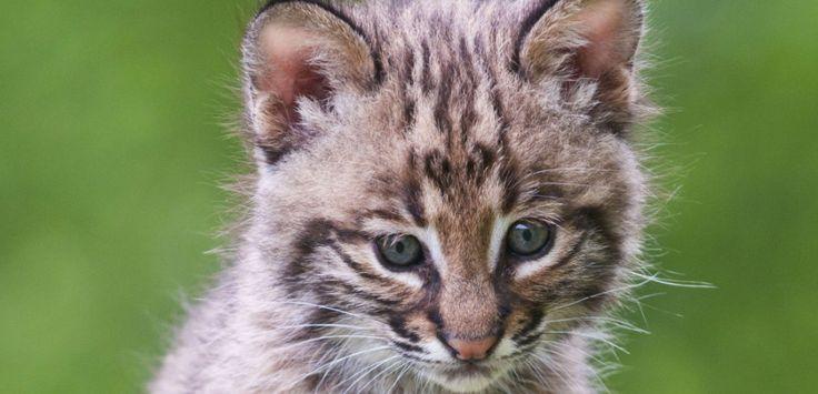 Un jeune lynx roux (Felis Rufus)