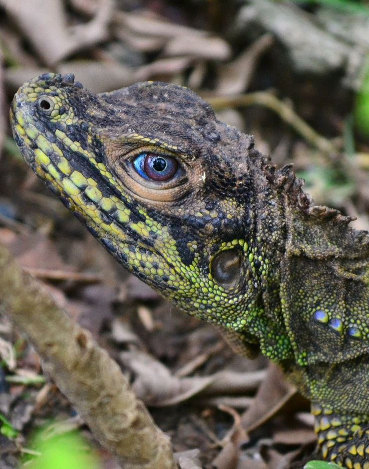 Sailfin Dragon Native To The Philippines Amphibians