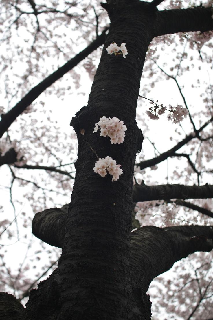 중간에 핀 벚꽃
