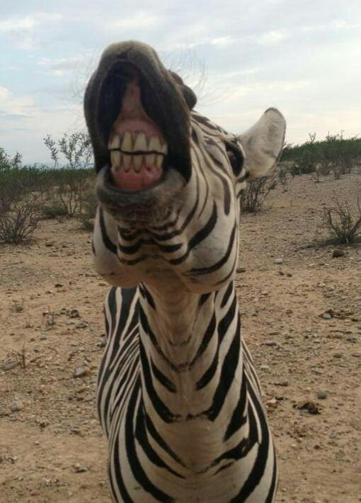 10 Best Images About Funny Pic On Pinterest Zebra Party Jungle