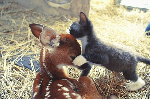 Interspecies affection. Every. Time.Baby Deer, Best Friends, Funny Pictures, A Kisses, Baby Kittens, Baby Animal, Odd Couples, Animal Friends, Funny Animal