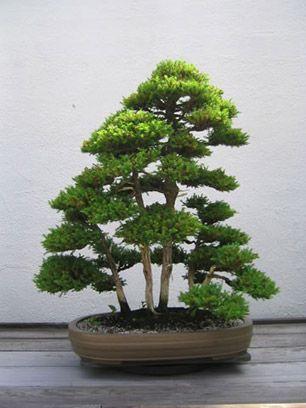 Cryptomeria japonica    /> Japonês Cedar