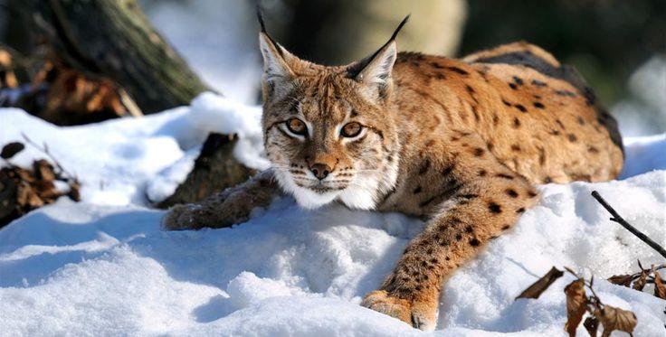 Låt lodjuren leva | Naturskyddsföreningen