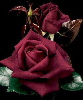 Love Hybrid Tea Rose