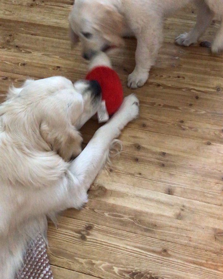 Pojat Leikkii Kultainennoutaja Pentu Goldenretrieversofinstagram Goldensofinstagram Goldens Golden Retriever Puppy Moms Best Friend Golden Retriever
