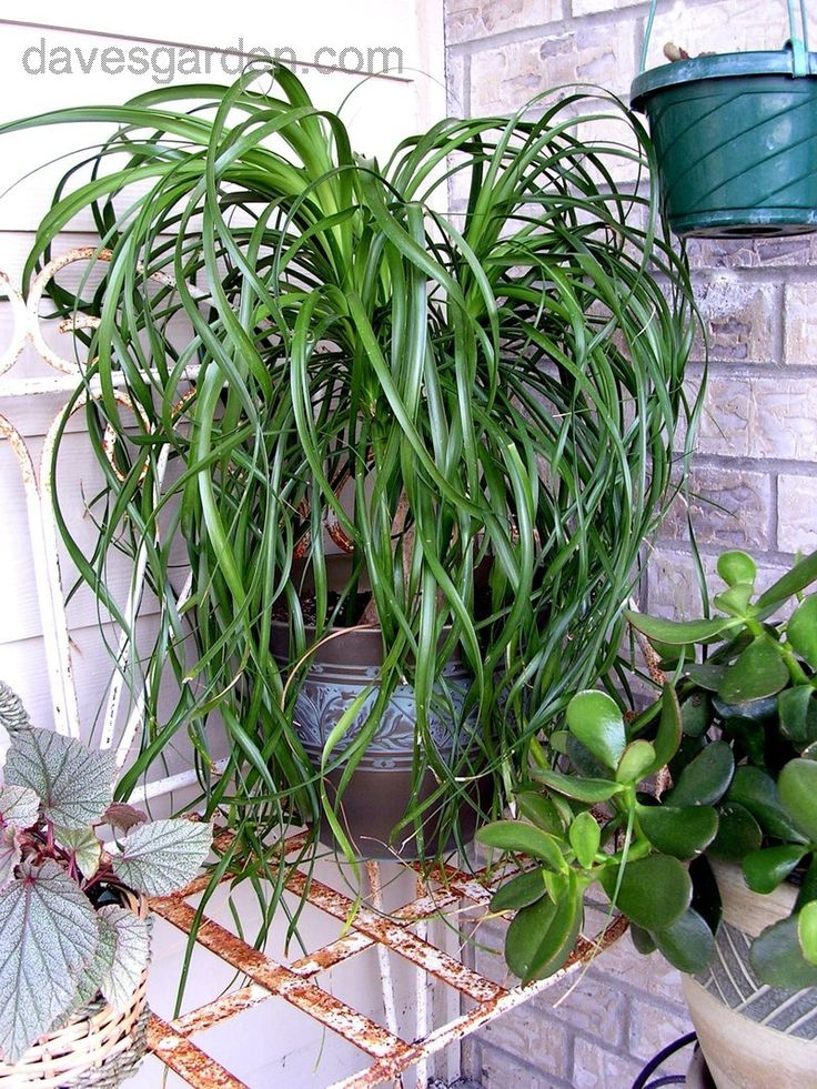 10 best plants for dark living rooms images on pinterest for Ponytail palm cats