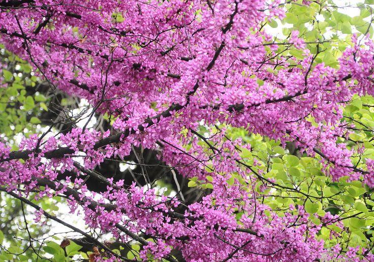 Zmarlika Jidášova / Cercis siliquastrum, známější spíše jako Jidášův strom, je listnatý opadavý strom původem ze středozemí s drobnými růžovými květy. V našich podmínkách roste spíše ve formě keřů s velikostí cca 4 m a šířkou kolem 3 m. Jeho květy připomínají kapky krve, díky kterým patří mezi vyhledávané ozdobné dřeviny. http://eshop.starkl.com/zmarlika-jidasova-132270/